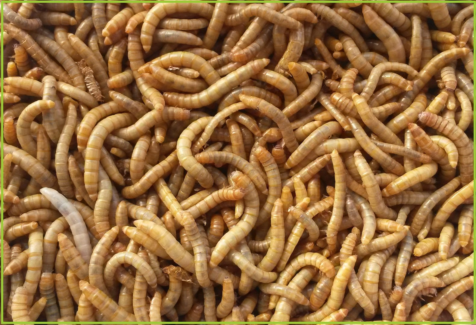 Tarrina de gusano de la harina tenebrio molitor bichosa for Gusanos blancos en la cocina